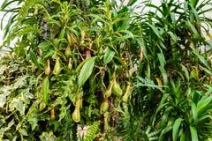 L'usine de Nepenthes, singe met en forme de tasse la plante tropicale, usines dangereuses Image stock