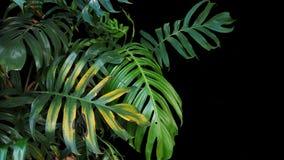 L'usine de philodendron de Monstera laisse l'élevage dans sauvage, le tropical Photos stock