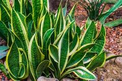 L'usine de serpent part en plan rapproché dans un jardin tropical, une usine très populaire en horticulture, le jardin décoratif  image libre de droits