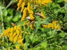 L'usine dorée est un aimant pour des insectes Photo stock