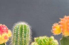 L'usine verte de plan rapproché et colorée fraîche de cactus sur le tableau noir brouillé a donné au fond une consistance rugueus Photographie stock