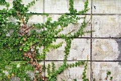 L'usine verte de plante grimpante sur le fond de mur Image libre de droits