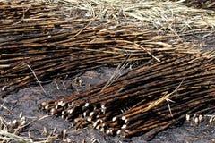 L'ustione della piantagione della canna da zucchero, la canna da zucchero, canna da zucchero ha bruciato il taglio sul fondo dell Fotografie Stock Libere da Diritti