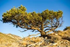 l'Utah Pinyon Photographie stock