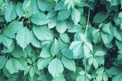L'uva decorativa lascia nei toni verdi blu freddi immagini stock