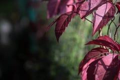 L'uva del chiaretto e di buio lascia nella caduta Fotografia Stock Libera da Diritti
