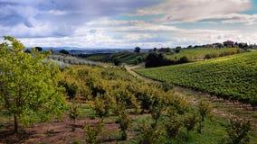 L'uva ed i campi dell'oliva si avvicinano a Montepulciano, Toscano Immagini Stock Libere da Diritti
