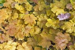 L'uva gialla dorata lascia nel fondo di struttura di autunno Fotografia Stock Libera da Diritti