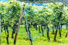 L'uva matura del pinot nero che appende sulle vigne ha coperto la b una rete blu Fotografie Stock