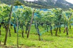 L'uva matura del pinot nero che appende sulle vigne ha coperto la b una rete blu Fotografia Stock