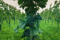 L'uva matura del pinot nero che appende sulle vigne ha coperto la b una rete blu Immagine Stock