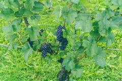 L'uva matura del pinot nero che appende sulle vigne ha coperto la b una rete blu Immagine Stock Libera da Diritti