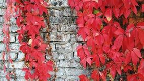 L'uva selvaggia rossa va contro un vecchio muro di mattoni, l'autunno 2016 Fotografia Stock