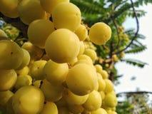 L'uva spina nel frutteto tailandese ha un gusto denso fotografia stock libera da diritti