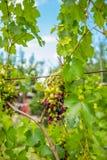 L'uva succosa deliziosa sta maturando nel giardino immagine stock