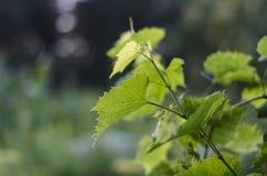 L'uva va, si inverdisce, copre di foglie, natura, luce solare, l'agricoltura, fogliame, l'estate Immagine Stock
