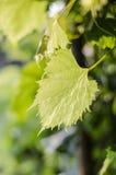 L'uva va, si inverdisce, copre di foglie, natura, luce solare, l'agricoltura, fogliame, l'estate Fotografie Stock