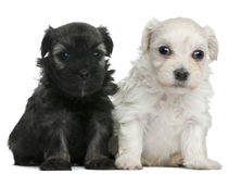 Free Löwchen Or Petit Chien Lion Puppie Royalty Free Stock Images - 18990329