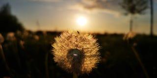 L?wenzahn in der Sonne lizenzfreies stockfoto