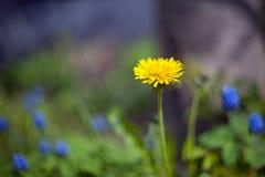 L?wenzahnblume auf einem unscharfen Hintergrund mit Bl?ttern auf einer Wiese mit Bl?ttern im Hintergrund lizenzfreie stockfotografie