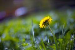 L?wenzahnblume auf einem unscharfen Hintergrund mit Bl?ttern auf einer Wiese mit Bl?ttern im Hintergrund lizenzfreie stockfotos