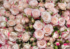 L white-pink roses Royalty Free Stock Photos