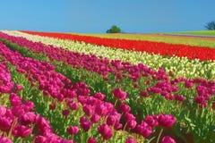 L& x27 ; Couleurs aux. de multiples de éphémère champ de tulipe Photographie stock