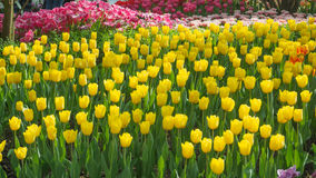 L yellow tulips Royalty Free Stock Image