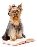 L'Yorkshire terrier con i vetri ha letto il libro Sulla parte posteriore di bianco Fotografie Stock