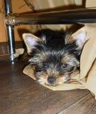 L'Yorkshire terrier del cucciolo si trova nell'appartamento immagini stock libere da diritti