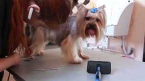 L'Yorkshire terrier del Groomer che pettina i capelli ed indossa un arco blu stock footage