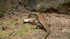 L?zard mangeant la grenouille banque de vidéos
