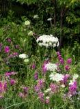 Laço da flor/rainha da cenoura selvagem Fotos de Stock Royalty Free