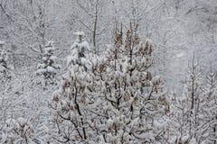 Laço da neve - os ramos das árvores cobertas com a neve imagem de stock