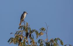 La在树顶部的萨格拉的捕蝇器。 免版税库存照片