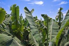 la банана преогромный выходит плантация palma Стоковое Фото