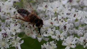 la Abejón-mosca que recogía el néctar de un gigante hogweed la cabeza de flor en junio, Escocia metrajes