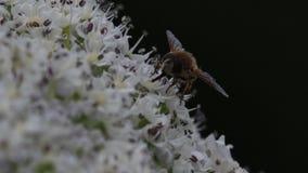 la Abejón-mosca que recogía el néctar de un gigante hogweed la cabeza de flor en junio, Escocia almacen de video