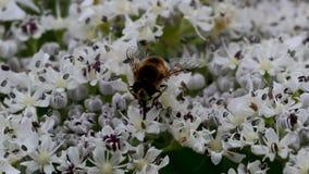 la Abejón-mosca que recogía el néctar de un gigante hogweed la cabeza de flor en junio, Escocia almacen de metraje de vídeo