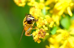 La abeja Foto de archivo libre de regalías
