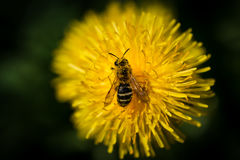 La abeja Imagenes de archivo
