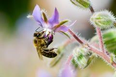 La abeja Imágenes de archivo libres de regalías