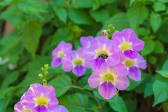 La abeja, abeja está comiendo la ligamaza en una flor púrpura Fotografía de archivo libre de regalías