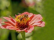 La abeja alimenta en las floraciones de un Zinnia rosado Imágenes de archivo libres de regalías