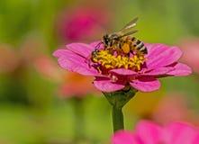 La abeja alimenta en las floraciones de un Zinnia rosado Imagen de archivo