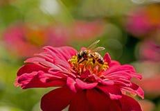 La abeja alimenta en las floraciones de un Zinnia rosado Imagen de archivo libre de regalías