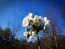 La abeja ama la cereza Imagen de archivo