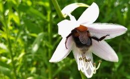 La abeja ama el florecer Imagenes de archivo