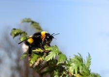 La abeja amarilla y negra se está sentando en las hojas verdes contra el cielo azul Fotos de archivo libres de regalías