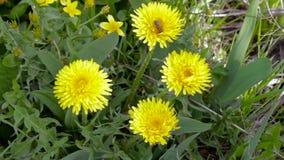 La abeja, avispa recoge el polen, néctar de los dientes de león amarillos al aire libre almacen de video